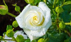 Many modern varieties of roses have illness-resistant foliage