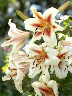 lilies, we have several different kinds of day lilies.
