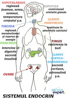 Anatomy and Physiology: Endocrine System What is an Endocrine System? The endocrine system regulates body processes slower than the nervous system. If the latter body system uses nerve impuls… Hormon Yoga, Nursing School Notes, Nursing Schools, Medical School, Nursing School Humor, Nurse Humor, Nursing Tips, Nursing Crib, Ob Nursing