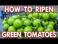 Got green tomatoes? You can either enjoy them in tasty recipes or ripen them off the vine. See how to do both and try some of our new green tomato recipes—including fried green tomatoes, salsa, pickles, chutney, green tomato pie, relish, and more! Ripen Green Tomatoes, Fruits And Veggies, Vegetables, Tomato Plants, Diy Garden Decor, Garden Inspiration, The Creator, Food Tips, Food Hacks