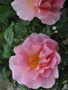 'Canterbury ' |  Shrub.  English Rose Collection.  Production 1969 United Kingdom David Austin