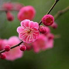 Blooming Trees, Sakura Cherry Blossom, I Believe In Pink, Peach Blossoms, Spring Blossom, Flower Wallpaper, Horticulture, Flower Crown, Fabric Flowers