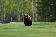 That's NOT Jack, Bear on the Golf Course, I'd let him play through