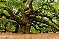 The oak is easy to identify because of its out-spread branches and its well known fruit, the acorn. It isn't very tall but it's super strong because of its deep root system. Another broad-leaf tree is the elm. You can identify it by its branches that droop towards the ground. It can also grow up to 130 feet high.