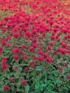 As Monarda emerges from the roots/rhizomes in the spring they may be pinched to create a bushier habit if desired. #yearofthemonarda This is Panorama Red from NGB member Benary Shade Perennials, Flowers Perennials, Fountain Grass, Natural Ecosystem, Garden Nursery, How To Attract Hummingbirds, Edible Flowers, Red Flowers, Spring Is Here