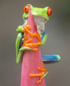 The pictures show the red-eyed tree frog leaping through the air, clinging to a vivid red Heliconia flower and...