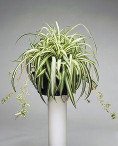 CINTAS- Micasarevista Indoor Tropical Plants, Chlorophytum, Herbs, Green, Absorber, 3d Fashion, Erika, Diana, Ornaments