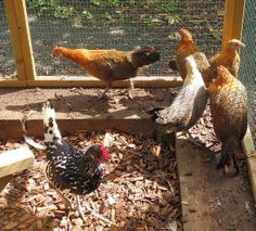 We've noticed Mr Fox beginning to get a bit more active in the last few weeks in our part of #Dorset, so this week the FSF #Chicken Blog turns its attention towards the best ways to keep your #poultry pals safe and secure from predators.