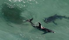 A massive shark has been photographed off Burwood beach in Australia, preying upon an unfortunate dolphin, though the predator is just one of at least three