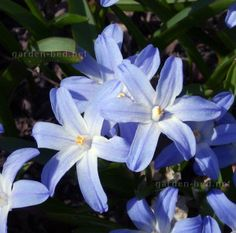 Синяя хионодокса зацветает в апереле-мае
