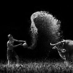 #bw #photo #bull #whater #man