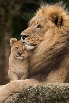 The sweet side of wild cats - 65 photos of the world of big cats - Archzine.fr - wild cats, papa lion with the little lion cub - Cute Baby Animals, Animals And Pets, Funny Animals, Huge Cat, Big Cats, Lion Pictures, Animal Pictures, Beautiful Cats, Animals Beautiful
