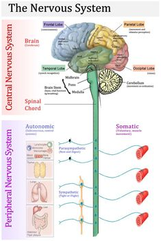 Science biology human Nervous System Function - Health, Medicine and Anatomy central peripheral Nervous System Diagram, Nervous System Anatomy, Human Nervous System, Nervous System Function, Peripheral Nervous System, Central Nervous System, Neurological System, Nerves Function, Brain Science