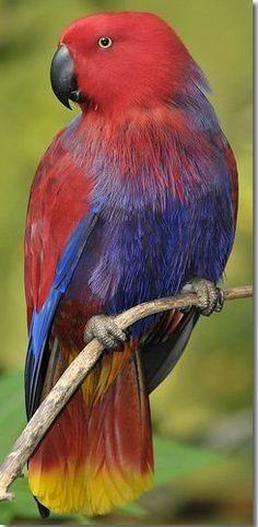 Eclectus Female Bird / avianweb.com