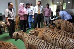 Although the numbers of tigers incidentally killed or as a result of human-tiger conflict are significant, most tigers in Sumatra are apparently killed deliberately for commercial gain. Moreover, there is no evidence that tiger poaching has declined significantly since the early 1990s. This is despite intensified conservation and protection measures in Sumatra, and the apparent success globally in curtailing markets for tiger bone.