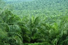 How Golden Agri could help make half the world's palm oil sustainable by 2016 - 07 Mar 2014 - Analysis from BusinessGreen