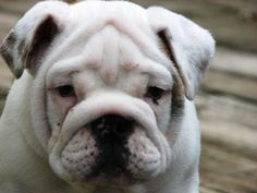 Tater ...... AKC English Bulldog puppy