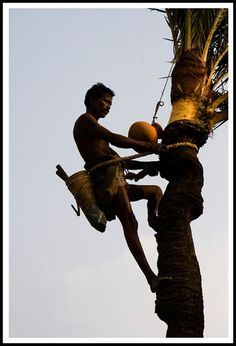 https://flic.kr/p/5M38Wp   Bangladesh   Collecting the juice of the date-palm. This image has been captured at Tora, Manikgonj, Bangladesh. ------------------------------------------------- All rights reserved. Do not use any of the images in this stream without my permission. Contact me at  tipukibria@safe-mail.net