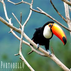 O tucano é uma ave da Família Ramphastos. É muito conhecido por seu enorme bico (chega aos 20 cm). É uma ave muito bonita que causa admiração aos olhos de quem vê. #Portobello #Resort #Safari