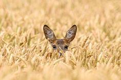 Deer in the field -