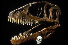 Carcharodontosaurus, one of the largest carnivores discovered alongside Giganotosaurus, skull in comparison to a human skull.