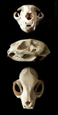Cat Skull by nikkiburr