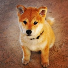 I will someday own a Shiba Inu...such a little bear!!