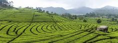 From Wikiwand: A tea plantation in Ciwidey, Bandung in Indonesia Indian Coffee, Key West Hotels, Melbourne Hotel, Cash Crop, How To Order Coffee, Australian Homes, Park Hotel, Art Series, Best Western