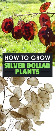How to Grow Silver Dollar Plants Learn how to grow the silver dollar plant, or lunaria annua, in your garden. The silvery seed pods will add a new level of beauty to your yard. Plant Design, Garden Design, Vegetable Garden, Garden Plants, Garden Spaces, Organic Gardening, Gardening Tips, Silver Dollar Plant, Money Trees