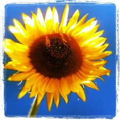 Sunflower BE SUNNY  Yellow Flower and Blue Sky Square by elinay, $8.88