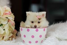 Teacup Puppies Store - Our Teacup Puppies from our Store www.TeacupPuppiesStore.com