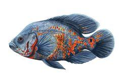 > u can buy a shirt with this fish Astronotus ocellatus (digitally improved repost) . > u can buy a shirt with this fish . South American Cichlids, Fish Sketch, Scientific Drawing, Watercolor Drawing, Botanical Art, Aquarium Fish, Sea Creatures, Animal Drawings, Biology