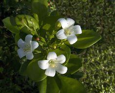 Asian Jasmine (sampaguita) - National Flower of the Philippines