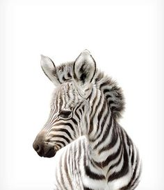 Safari nursery decor Zebra print PRINTABLE art Safari