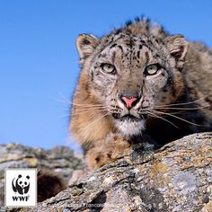WWF #PicoftheWeek: Snow leopard portrait. This stunning big cat is a symbol of Central Asia's high mountains, a spectacular region that's home to unique wildlife and provides precious water to tens of millions of people. Find out more: http://wwf.panda.org/what_we_do/endangered_species/snow_leopard/snow_leopard_sos.cfm