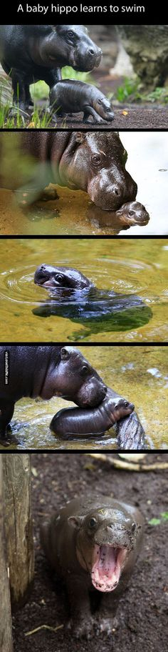 A Baby Hippo Learning How To Swim cute animals adorable animal baby animals wildlife wild life funny animals hippo