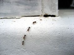 As far as possible, this post will concentrate on pest control tips that would assist keep away as much pests as you can. Some of the advises provided here will deal on specific pests but some may … Garden Bugs, Garden Pests, Homemade Ant Killer, Baby Powder Uses, Core Aeration, Killing Weeds, Ants In House, Organic Weed Control, Home