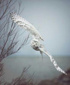 Coruja voando dando um rolê