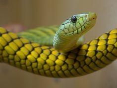 Had – slizký, chladný, jedovatý – to sú jeho najbežnejšie prívlastky. Stačí sa na neho dívať za sklom terária, aby vám jeho surový pohľad nahnal strach. Čím je tento tvor taký výnimočný, že ho ľudia buď milujú, alebo nenávidia? Had, rovnako ako vlk či iné pôvodne kultové zvieratá, sa stal obávaným netvorom. Prečo? Vminulosti hady…