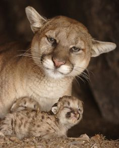 "Cougars (I swear that the expression on this Mama's face screams: ""I have been cooped up too long with demanding babies.  I need some relief here!!"")"