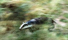 Dead badgers on the rise : European Badger Running