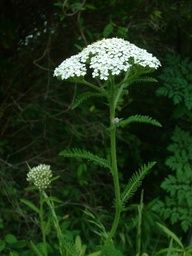 Yarrow - I love seeing all of the yarrow in Colorado! I'm growing it in my garden and am currently exploring its many medicinal uses. But I can tell you it is a special friend to women!