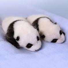 Baby panda :-)                                                                                                                                                                                 More