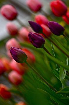 Spring Flowers wallpaper by PerfumeVanilla - 87 - Free on ZEDGE™ Purple Tulips, Tulips Flowers, Pretty Flowers, Fresh Flowers, Planting Flowers, Poppies, Spring Flowers Wallpaper, Flower Wallpaper, Beautiful Flowers Garden