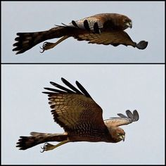 Spotted Harrier (LC) Raptors, Animals, Animales, Animaux, Animal, Animais