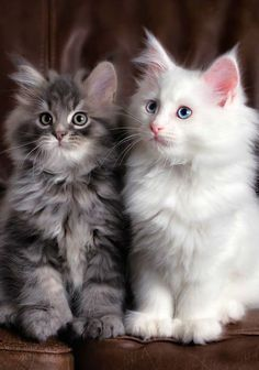 Maine Coon Kittens are so fluffy and cute it's easy to understand why they hav.Maine Coon Kittens are so fluffy and cute it's easy to understand why they have become so popular especially if they can be adopted for free. Cute Baby Cats, Cute Cats And Kittens, Cute Baby Animals, Kittens Cutest, Funny Kittens, Animals Kissing, Easy Animals, Kittens Playing, Funny Animals