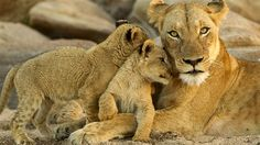 Lionesse with cubs in Kruger National Park, South Africa - One of the best places on earth to go on a safari South Africa Safari, East Africa, Kruger National Park, National Parks, Big Cat Species, Lioness And Cubs, Lions Live, Sun Dogs, Animais
