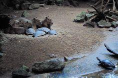 Burgers' Zoo, Capybaras and turtles, 06-01-2018, photo A. Kuckartz