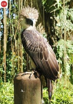 https://www.facebook.com/WonderBirdSpecies/ Đại bàng Philippine/Đại vàng vua; Họ Ưng-Accipitridae; Loài đặc hữu Philippines || Philippine eagle (Pithecophaga jefferyi); IUCN Red List of Threatened Species 3.1 : Critically Endangered (CR)(Loài cực kỳ nguy cấp).
