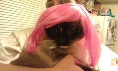 """"""" my cat yoda.or as we now call her YODA MINAJ. Found cat halloween wigs at Petsmart"""" Found Cat, Halloween Wigs, Call Her, Angel, Long Hair Styles, Twitter, Cats, Animals, Beauty"""